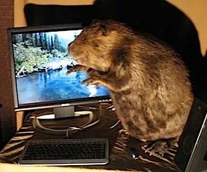 Nice Beaver… Thanks, I Just Had It Stuffed.