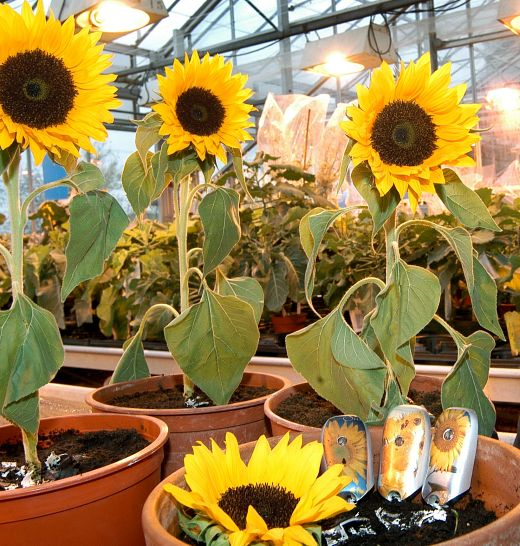 Sunflower Biodegradeable Mobile Phone Case