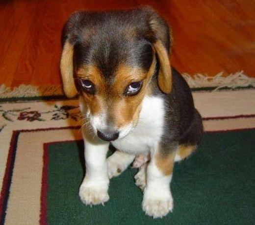Sorry Beagle