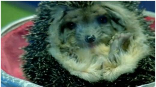 samsung-hedgehog