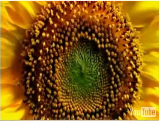 ps3-sunflower