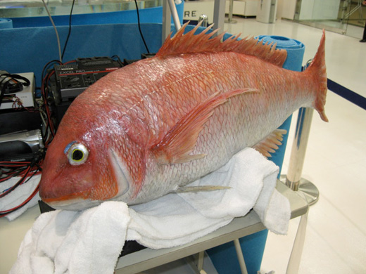 sea bream fish robot yamamoto
