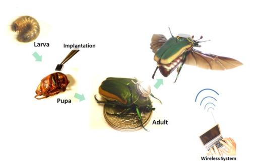 beetle-borg-2