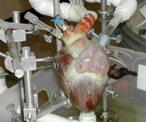 Out of Body Experience: Machine Keeps Disembodied Animal Hearts Beating