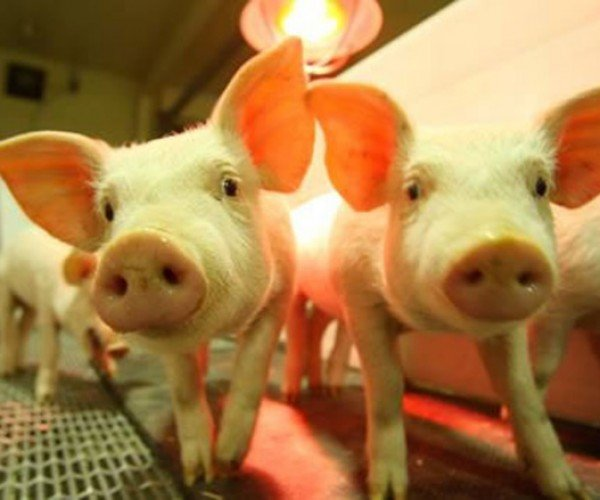 Genetically Engineered Pigs Could be Harvested for Human Organ Transplants – Still No Spiderpig