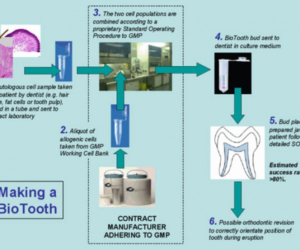 Forget the Tooth Fairy, Order a Biotooth