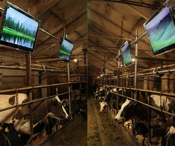 Russian Cow Barn Gets High Tech, Cows Get to Watch HDTV