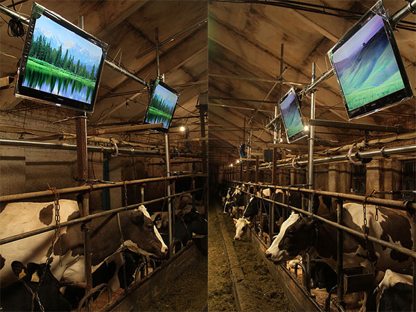 russian cow barn with led tv