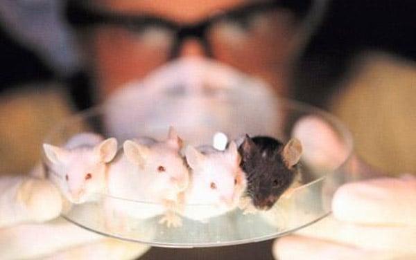 mice_in_dish