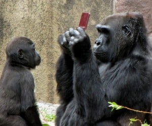 Gorilla Gets Nintendo Ds and Trades It for an Apple
