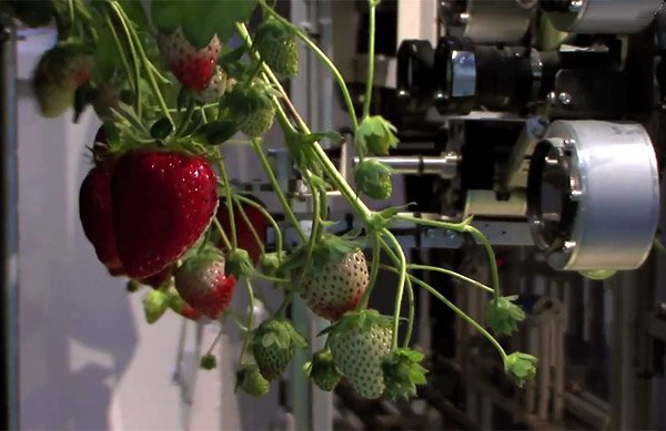 strawberry_picking_robot