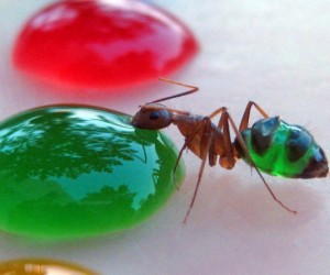 See-Through Ants Come in Custom Colors