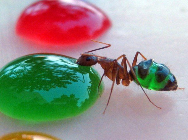 080711 transluscent ants 1