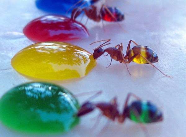 080711_transluscent_ants_2