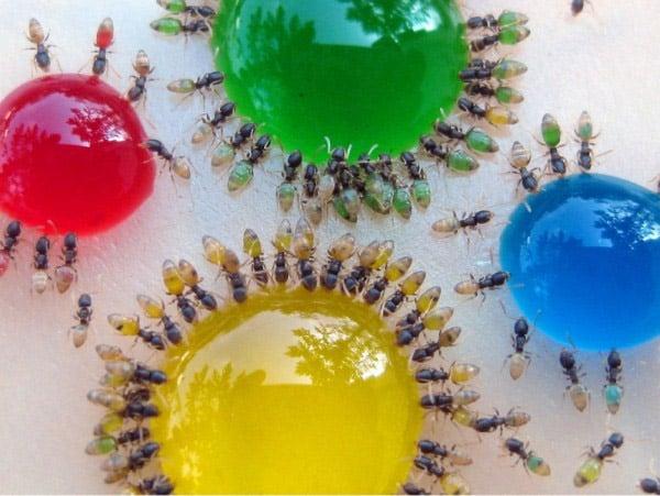 080711 transluscent ants 3