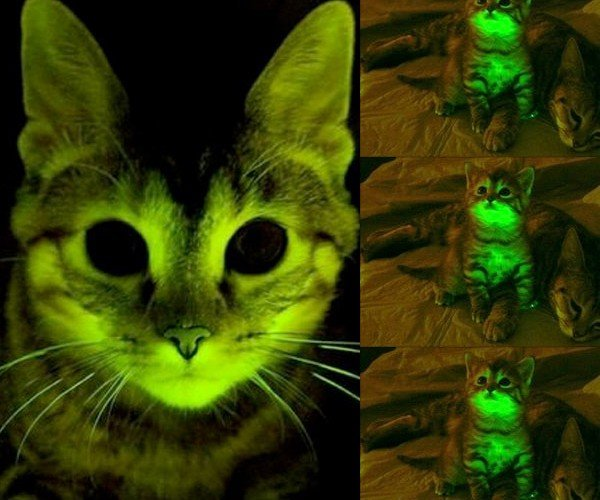 Glowing Kittens Bred by AIDS Researchers