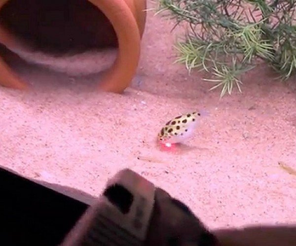 Puffer Fish Forced to Chase Laser Pointer at Gunpoint