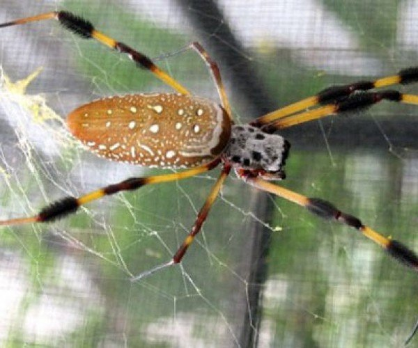 Golden Silk Orbweaver Spider Silk May Find Its Way inside Future Electronics