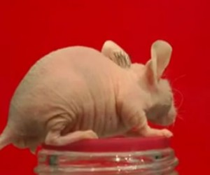 Scientists Grow Hair on Disgusting Bald Mouse