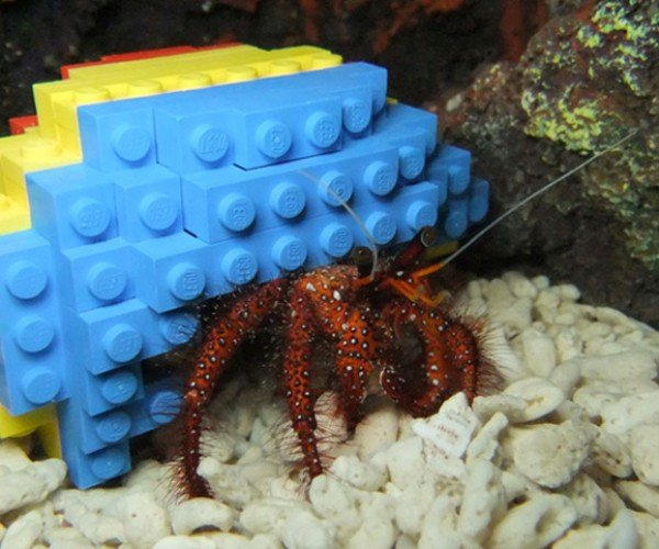 Hermit Crab Decides LEGO Shell Good Enough for Home
