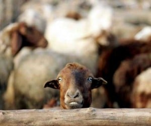 Swiss Researchers Invent System to Text Shepherds When Sheep Are under Attack