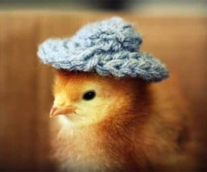 'Chicks in Hats' Shows Off a Multitude of Chicken Personalities, in Hats