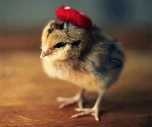 Chicks in Hats