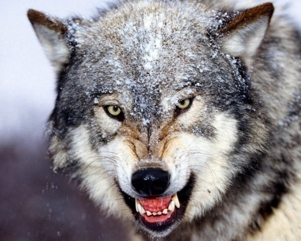 The Ability to Eat a Starchy Diet Turned Wolves into Man's Best Friend