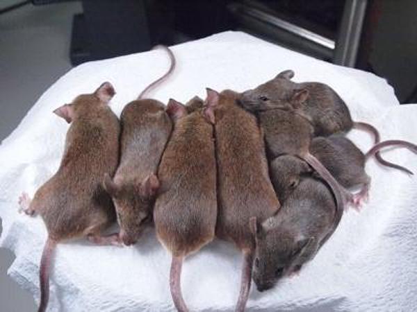 riken-clone-mice