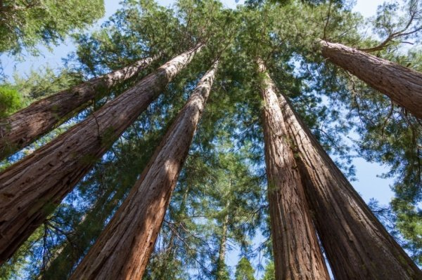 Non-Profit Group Wants to Clone Old Trees to Repopulate Forests