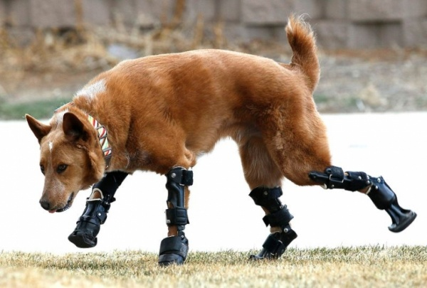 Naki'o: A Four-Legged Friend Gets Four Prosthetic Paws