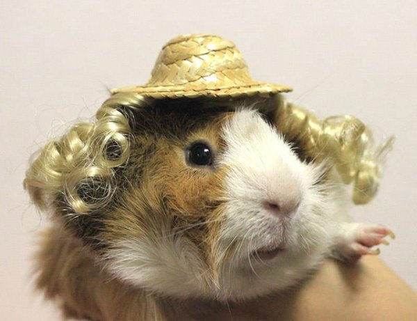 Guinea Pig Fashion