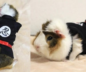Guinea Pig Fashion1 300x250