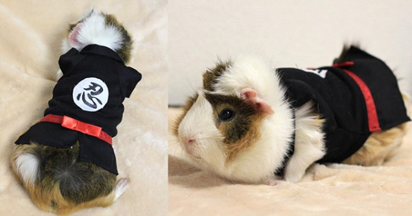 R Guinea Pigs Rodents Dressed up Guinea Pigs...