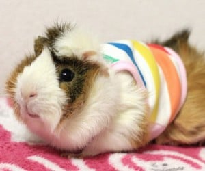 Guinea Pig Fashion2 300x250