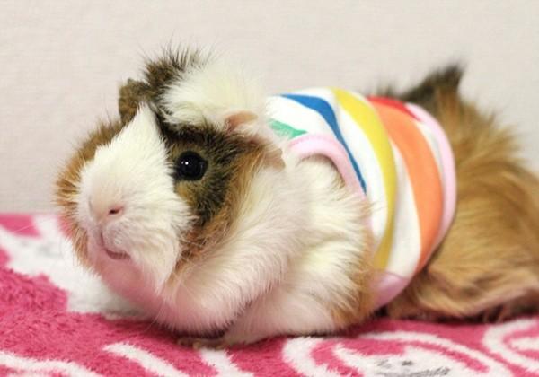 Guinea Pig Fashion2