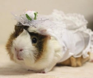 Guinea Pig Fashion3 300x250