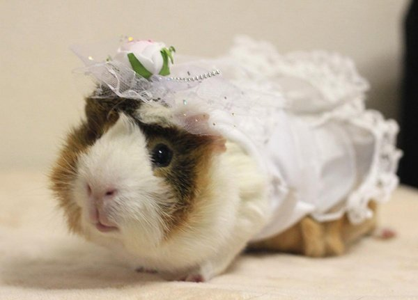 Dressed Up Guinea Pigs Rule The Catwalk Technabob