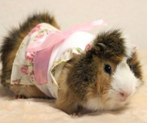 Guinea Pig Fashion4 300x250