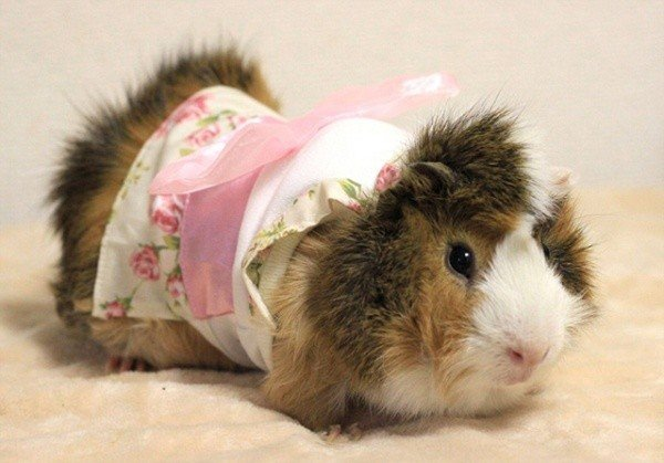 Guinea Pig Fashion4