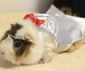 Guinea Pig Fashion5 300x250