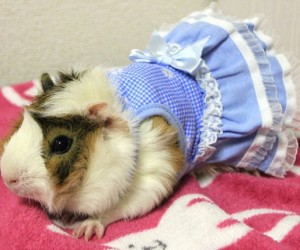 Guinea Pig Fashion6 300x250