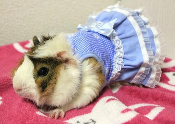 Guinea Pig Fashion6