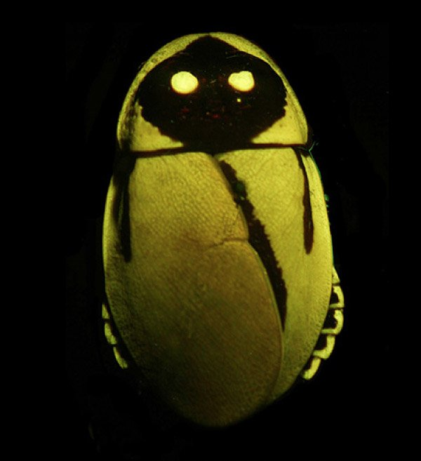 glowing jawa cockroach
