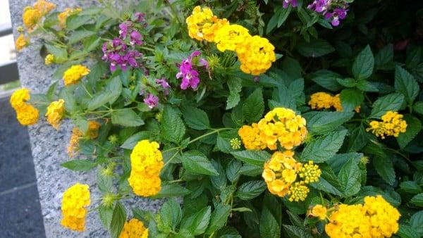 nokia_1020_flowers
