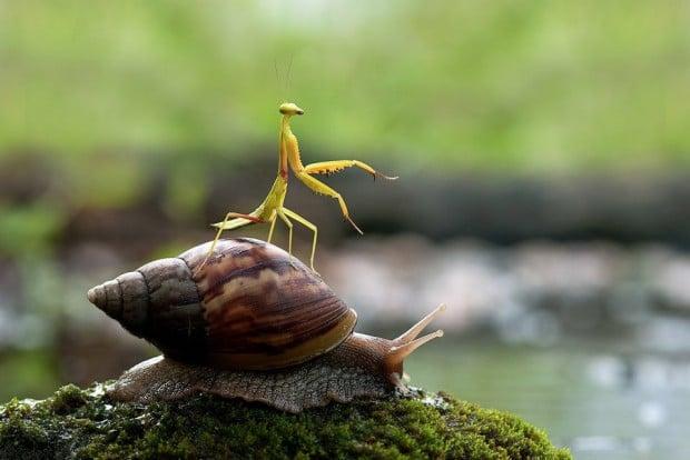 snail mantis 620x414