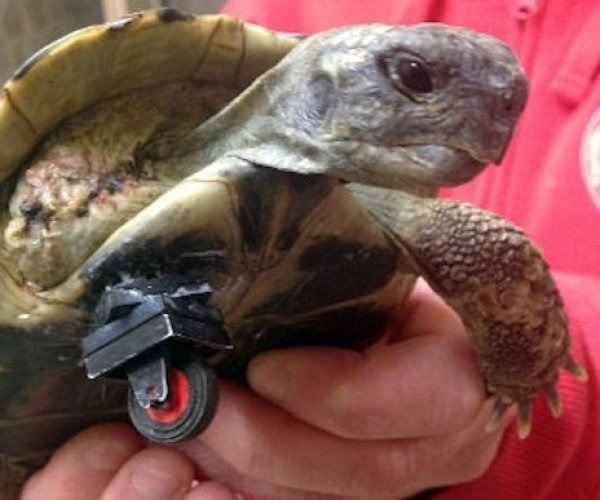 Turtle with Amputated Leg Gets Some Help from a LEGO Wheel