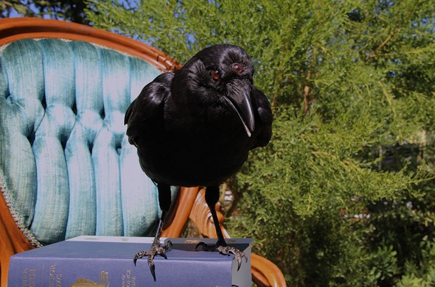 game of thrones three eyed crow taxidermy by allis markham 2 620x409