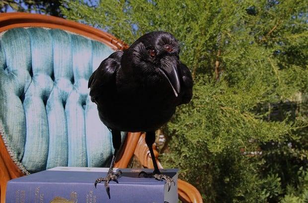 game-of-thrones-three-eyed-crow-taxidermy-by-allis-markham-2