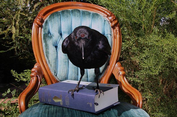 game of thrones three eyed crow taxidermy by allis markham 3 620x413